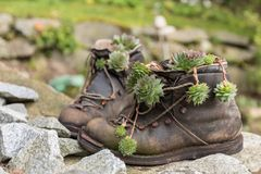 Старые пешие ботинки с succulents стоковые фото