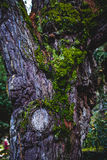 Старые древесина и мох Стоковое Изображение RF