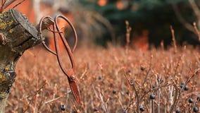 Старые ржавые ножницы скачут сад дикие ягоды обматывают отснятый видеоматериал hd никто видеоматериал