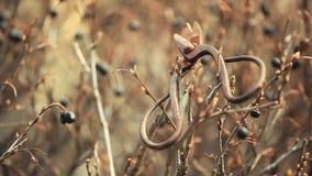 Старые ржавые ножницы скачут сад дикие ягоды обматывают отснятый видеоматериал hd никто акции видеоматериалы