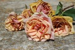 старые розы Стоковые Изображения