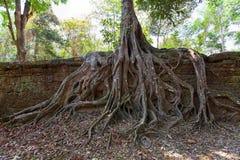 Старые руины и корни дерева, исторического виска кхмера внутри Стоковое Изображение RF
