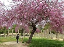 Старые руины под зацветая розовыми деревьями Judas в археологических раскопках старой Олимпии Стоковая Фотография
