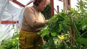 Старые старшие заводы томатов заботы женщины садовника в парнике сток-видео