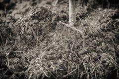 Старые стальные вилы в куче позема, удабривают поля Винтажное влияние Стоковая Фотография RF