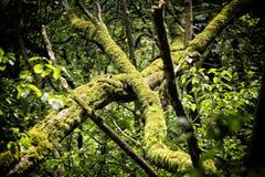 Старые стволы дерева покрытые мхом Стоковая Фотография RF