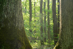 Старые дубы в лесе Стоковое Изображение