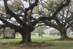 Старые дубы плантации стоковая фотография