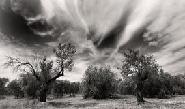 старые olivetrees Стоковая Фотография
