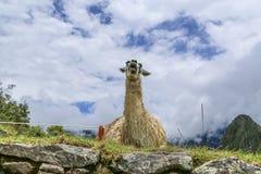 Старый лам кричит пока отдыхающ на луге Стоковые Фотографии RF