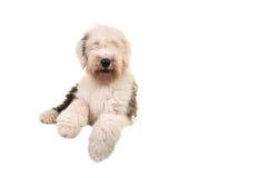 Старый английский взрослый собаки овец молодой лежа на поле увиденном от фронта Стоковые Изображения