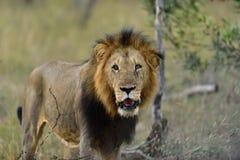 Старый африканский лев в Южной Африке Стоковая Фотография