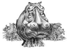 Старый бегемот без зубов Стоковая Фотография RF