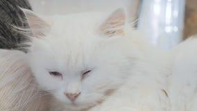 Старый белый кот спать на таблице рядом с образом жизни шарики для вязать старый красивый белый кот сидя  акции видеоматериалы