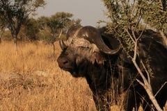 Старый буйвол накидки с метками сражения над летами стоковое изображение