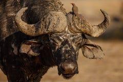 Старый буйвол Стоковая Фотография RF