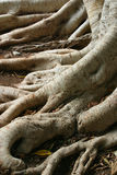 старый вал корней Стоковые Фото