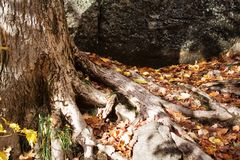 старый вал корней Стоковое Фото