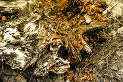 старый вал корня Стоковые Фотографии RF