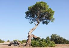 Старый вал сосенки на ландшафте пляжа Стоковая Фотография