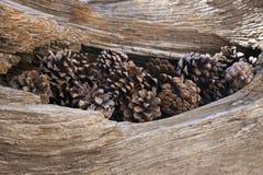 старый вал pinecones Стоковые Изображения