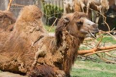 Старый верблюд лежит на зеленой траве стоковое фото