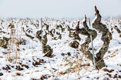Старый виноградник в снеге Стоковые Изображения RF