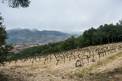 Старый виноградник на предпосылке гор Стоковое Изображение