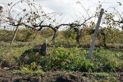 Старый виноградник - 11 Стоковые Изображения