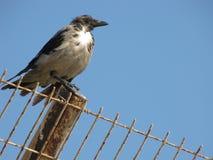Старый ворон на ржавой загородке Стоковые Фотографии RF