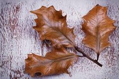 Старый высушите вверх листья падуба Стоковое фото RF