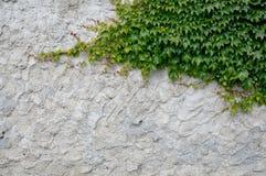 Старый гипсолит с плющом Стоковое Изображение RF