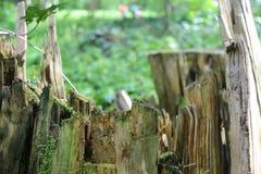 Старый деревянный пень в лесе стоковые фотографии rf