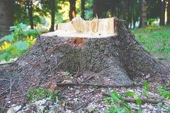 Старый деревянный сломанный пень в лесе стоковые изображения