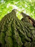 Старый дуб в древесине Стоковая Фотография RF