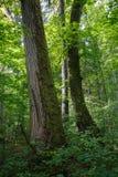 Старый естественный лес в утре лета Стоковая Фотография