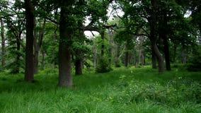 Старый лес Sababurg акции видеоматериалы