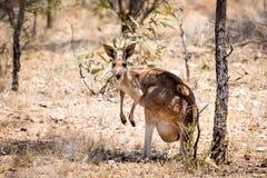 Старый женский красный кенгуру в захолустье Австралии Стоковая Фотография RF
