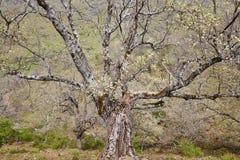 Старый живописный ствол дерева против предпосылки голубые облака field wispy неба природы зеленого цвета травы белое Ландшафт Стоковое фото RF