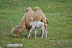 Старый и молодой верблюд Стоковые Изображения RF