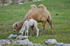 Старый и молодой верблюд стоковая фотография rf