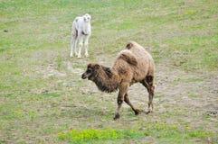 Старый и молодой верблюд стоковое фото rf