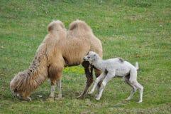 Старый и молодой верблюд стоковая фотография