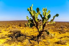 Старый кактус шиповатой груши в Karoo Стоковое Изображение RF