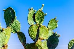 Старый кактус шиповатой груши в Karoo Стоковая Фотография