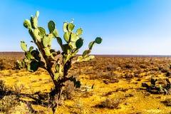 Старый кактус шиповатой груши в Karoo Стоковое Изображение