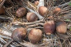 Старый кокос Стоковые Фотографии RF