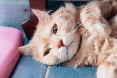 Старый кот смотрит что-то прежде чем он идя спать в вечере Стоковое Изображение