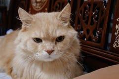 Старый кот смотрит что-то прежде чем он идя спать в полночи Стоковая Фотография