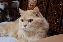 Старый кот смотрит что-то прежде чем он идя спать в полночи Стоковое фото RF